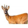 Косуля сибирская, европейская